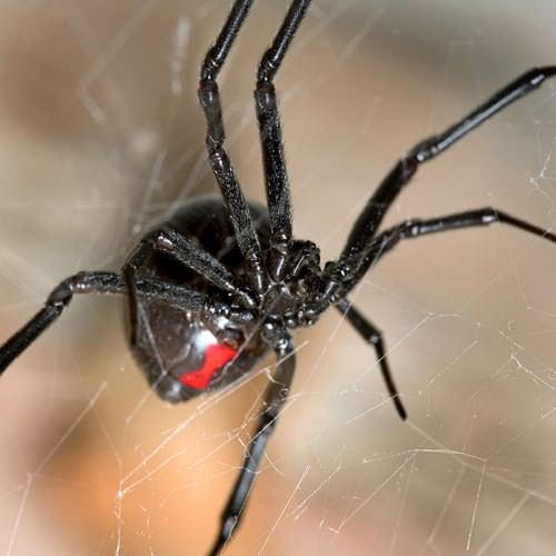 how to get rid of black widows naturally