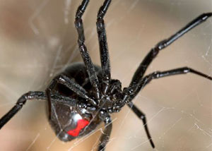 how to get rid of black widows under house