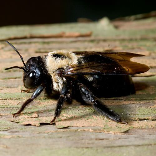 Carpenter Bees in Forest Park