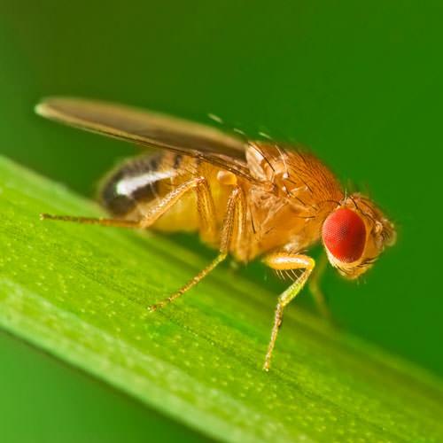 fruit fly infestation how healthy is kiwi fruit