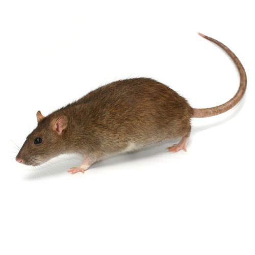 Rodent Control In Georgia Marietta Atlanta Carrollton