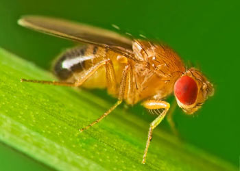 Fruit Fly in  Mableton