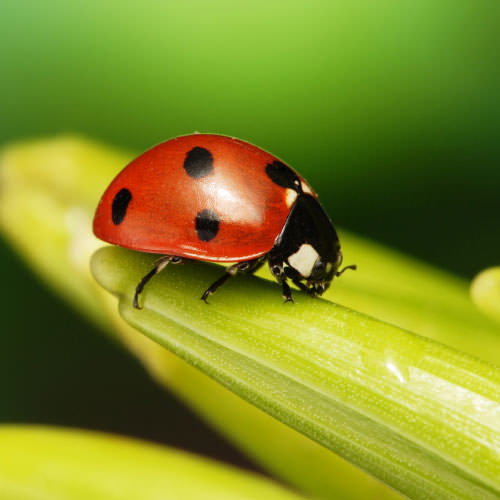 How to Tell the Difference Between Good and Bad Ladybugs